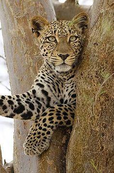 Leopard, Samburu Reserve, Kenya