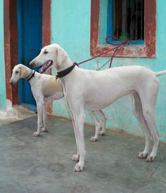 The Mudhol Hound, also known as Caravan Hound is an Indian breed of dog of the sight hound type. Best Guard Dog Breeds, Best Guard Dogs, Hound Breeds, Hound Dog, Large Dog Breeds, Large Dogs, Pet Dogs, Dogs And Puppies, Baby Corgi