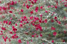 The New Zealand tea tree (Leptospermum scoparium) sports pretty blossoms in shades of white, pink or red. Learn about growing it in your garden. Dry Garden, Garden Plants, Growing Flowers, Planting Flowers, Red Flowers, Flowers In Hair, Flowering Shrubs, Flower Tea, Shade Plants