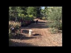 Evening Stroll with Dogs of Serra Gardens - YouTube