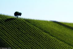 Tree in the vineyard | Flickr - Photo Sharing!