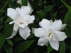 Gardenia jasminoides 'Frostproof' *fragrant