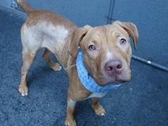 TO BE DESTROYED - TUESDAY - 4/29/14, Manhattan Center    MARTY - A0997640    MALE, TAN, PIT BULL MIX, 1 yr  STRAY - 04/24/2014
