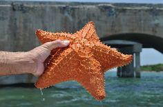 Huge starfish, don't worry, we put him back!