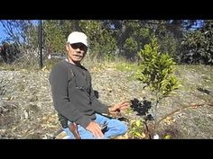 Training Young Citrus Trees - YouTube