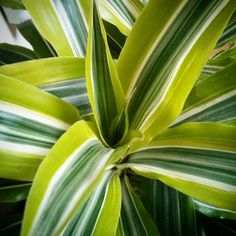 Dracena lemon-lime Water when the soil is dry, keep away from pets, and repot to the very next pot size after the roots have completely taken over the old pot. Jungle Gardens, Fairy Gardens, Lemon Lime Water, My Secret Garden, Water Plants, Plant Decor, Amazing Gardens, Houseplants, Vivarium