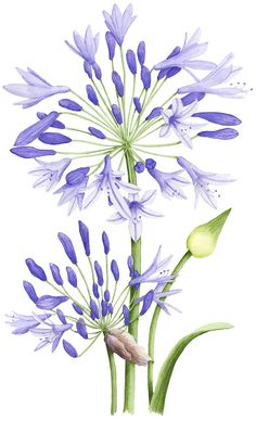 Agapanthus illustration. An illustration for Australian House & Garden magazine November 2013. © Allison Langton