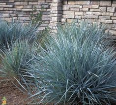 Blue Lyme Grass (Leymus arenarius Blue Dune) Very hardy to sun, sand, and salty conditions. Low maintenance, zone: 4-9:
