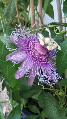 Fiirst bloom