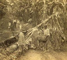 Gathering Bananas at the Famous Cedar Grove Plantation, Jamaica by The Caribbean Photo Archive, via Flickr