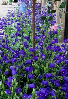 PlantFiles Pictures: Campanula, Bellflower, Canterbury Bells 'Champion Blue' (Campanula medium) by mgarr Famous Daves, Flower Shape, Blue Flowers, Seeds, Shapes, Deep Blue, Garden Ideas, Plants, Pictures