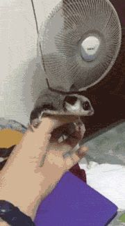 [Flight Simulator]--------------------- **Sweet Sugar Glider feels familiar air currents. So good to see a healthy little bud!