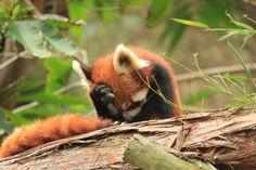 Red Panda facepalm.