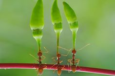 Hard-working ants lift huge chilli peppers over their heads by Yahya Taufikurrahman.we can all learn from the ants! Funny Animal Pictures, Funny Animals, Cute Animals, Beautiful Creatures, Animals Beautiful, Animal Tumblr, Fotografia Macro, A Bug's Life, Bugs And Insects