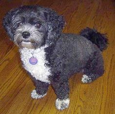 Shih-Poo Information and Pictures. The Shih-Poo is not a purebred dog. It is a cross between the Shih-Tzu and the Poodle. Shih Tzu Poodle, Shih Tzu Puppy, Poodle Mix, Unique Dog Breeds, Rare Dog Breeds, Cute Puppies, Cute Dogs, Puppy Haircut, Shih Poo