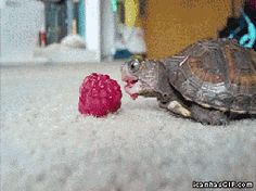 funny-gif-baby-turtle-eating-raspberry