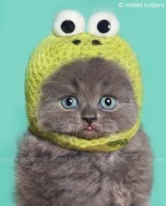 """The little frog"" still love this picture of this little blue-eyed gray kitten with the knit frog frog hat"