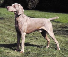 my friends have a dog whose half Weimaraner, and its friggin awesome. Weimaraner, Dog Muzzle, Dog Care Tips, Dog Houses, Training Your Dog, Mans Best Friend, Dear Friend, Disney Films, Dog Owners