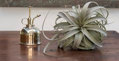 Tillandsia Xerographica and Brass Plant Mister ~ BEST INSTRUCTIONS ON WATERING A AIR PLANT ~