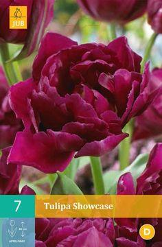 Tulipa Showcase - pakke á 7 stk. løk
