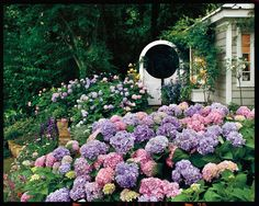 Whether you want pink or blue, it's easy to change the hue of your hydrangea blooms.
