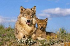 this wolf is beautiful and her baby!