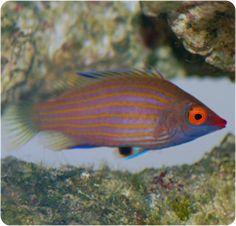 Pink-streaked Pygmy Wrasse - Pseudocheilinops ataenia