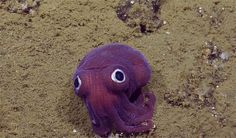 This incredibly cute stubby squid with googly eyes has been melting the hearts of YouTubers since last Friday when footage was uploaded by a group of scientists called EVNautilus. What's even more adorable than its looks is the goofy reaction of the scientists as they just couldn't stop giggling when they saw the critter.
