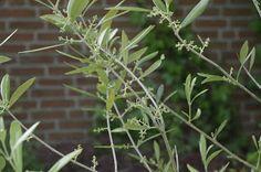 Mr. Greens Welt: Olivenblüte sprängt alle Vorstellungen