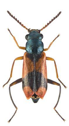 Anthocomus bipunctatus