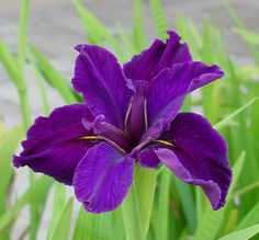 all the colors of the iris flower | louisiana iris l ouisiana irises are perennials that can be grown ...