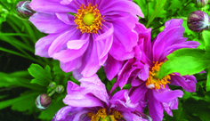 What's In Bloom: Meadow Lovers - Toronto Botanical Garden Crocosmia, Botanical Gardens, Planting Flowers, Bloom, Lovers, Plants, Summer, Summer Time, Summer Recipes