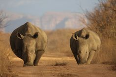 Rhinos at Karongwe Reserve, South Africa, by RedPangolin.
