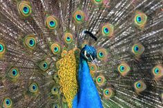 Peacock, bird,  #public domain image