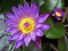 Water Lily (other birth month flower)