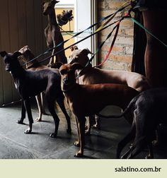 Italian Greyhound Ladies. #dog #salatino #clubesalatino #canil #perro #dogs #cute #love #nature #animales #dog #ilovemydog #ilovemypet #cute #galgos #greyhound #galgoespanhol #galgo