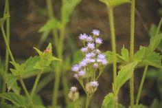 mi casita en el bosque: Un jardín lleno de vida ♥ Eupatorium