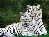 imajenes de tigres - Search