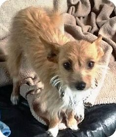 Surrey, BC - Chihuahua/Terrier (Unknown Type, Small) Mix. Meet FRANNIE, a dog for adoption. http://www.adoptapet.com/pet/13018988-surrey-british-columbia-chihuahua-mix