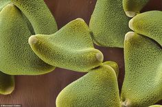 Awesome Microscope Images of Pollen Grains