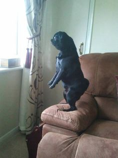 The pugs are evolving. This is Penny's stance when she sees a dog on TV Pug Pictures, Funny Animal Pictures, Funny Animals, Cute Animals, Pugs And Kisses, Black Pug, Cute Pugs, Pug Love, Dog Memes