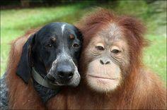 Suryia de orang-oetan en Roscoe de hond, zijn al vier jaar de beste vrienden.