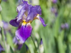 How to Grow and Divide Irises