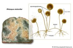 Rhizopus stolonifer growing on bread (left), with enlargement showing the stolon, rhizoids, and sporangiophores.