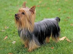 Different Colors of Yorkies | Types of Yorkshire Terrier