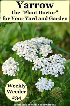 Yarrow, Achillea millefolium, is a wonderfully useful herb and makes a great companion plant. We'll share how to find it (or grow it) and how it's used. Yarrow Uses, Yarrow Plant, Achillea Millefolium, Plant Identification, Wild Edibles, Dry Leaf, Companion Planting, Natural Home Remedies, Growing Plants