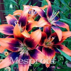 HOT Sale 100 PCS 24 Colors Lily Seeds, Cheap Perfume Lilies Seeds, Rare Color Flower Garden Plant - Mixing Different Varieties
