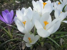 Crocus in the sun and shadow, time lapse