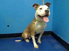GONE RIP 8/4/13 Manhattan BIGGIE A0973061 Male tan /white pit mix 2YRS Bigige's behavior deteriorated when he was flung into an uncaring system, left in a metal cell for almost 24hrs/day & no meaningful interaction w/ ppl since his intake on 7/25 Rather than divert an ounce of resources toward figuring out what made Biggie tick ACC let him get infected w/ their cold so they could slap him on tonight's euth list. Only a New Hope rescue partner can save Biggie tonite PLS be the one to do it