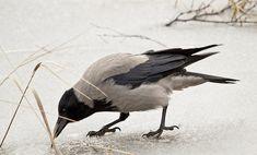 Elämää: Mitä varis tekee?
